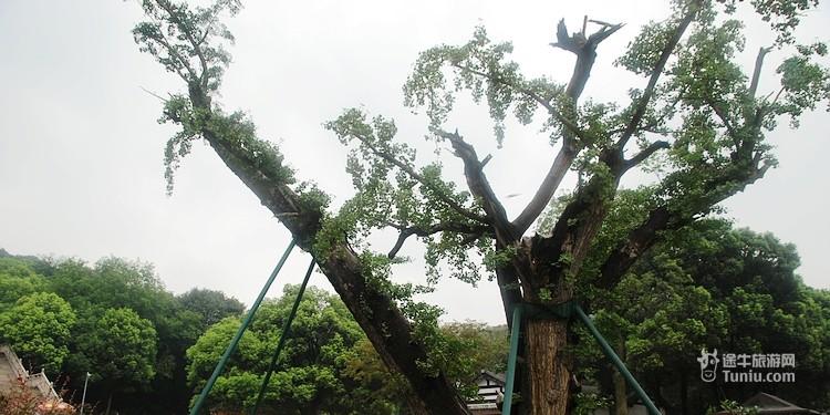 灵山杏坛广场上矗立着一棵古银杏树,那是祥符寺悠久历史的见证.
